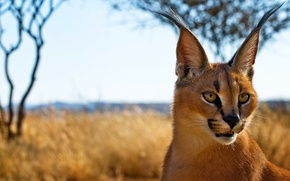 Picture look, face, predator, ears, brush, Caracal, steppe lynx, Caracal