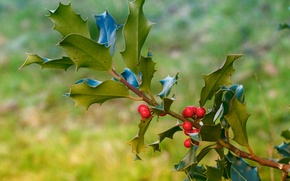 Picture leaves, nature, berries, branch