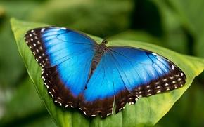 Picture sheet, butterfly, blue, morpho, mrpho