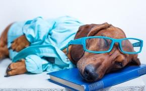 Picture humor, glasses, sleeping, lies, book, Dachshund, shirt, resting