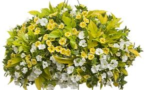 Picture Flowers, White, Beautiful, A lot, Calibrachoa