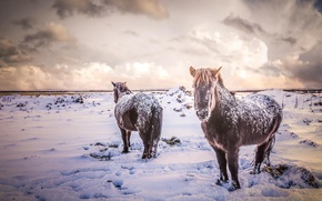 Picture winter, field, animals, snow, nature, horses, horse, Iceland