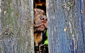 Picture the fence, nose, dog, collar