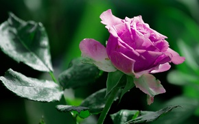 Wallpaper blurred background, summer, rose, nature, saturated colors, flower, green, summer, greens, rose, closeup, nature, wildlife, ...