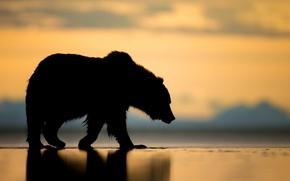 Picture sunset, bear, Alaska, silhouette, the Bruins