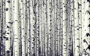 Picture trees, birch, Birch