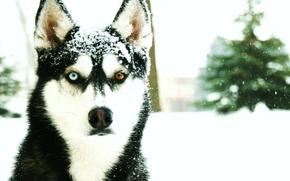 Picture cold, winter, snow, Husky