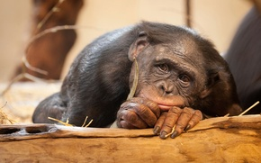 Picture sadness, animals, monkey, bonobos