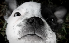 Wallpaper puppy, sleep., Boston Terrier
