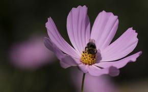 Wallpaper Flower, bumblebee, lilac, wings