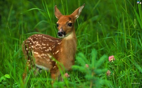 Picture Deer, Inocent, Fastest