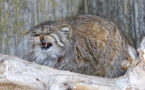 Picture cat, fluffy, fangs, evil, manul, ©Tambako The Jaguar