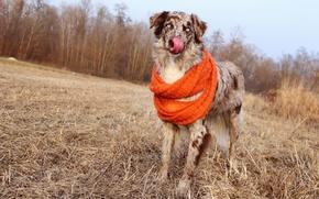 Picture field, autumn, forest, language, the sky, dog, scarf, straw, posing, Australian shepherd, Aussie