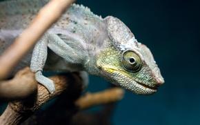 Picture chameleon, branch, lizard