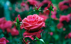 Picture flowers, roses, garden