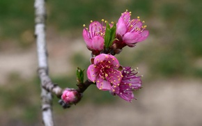 Picture blur, Branch, flowering
