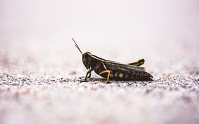 Picture insect, ground, grasshopper