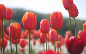 Picture field, flowers, petals, blur, Tulips, red