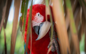 Picture look, leaves, red, Palma, feathers, beak, parrot, colorful, Ara