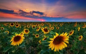 Picture field, summer, sunflowers, sunset, USA, Denver