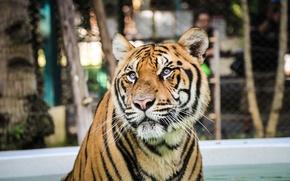 Picture strips, tiger, predator