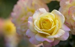 Picture tenderness, rose, petals