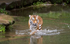 Picture cat, water, tiger, bathing, pond, Amur
