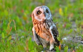 Picture owl, bird, Short-eared owl