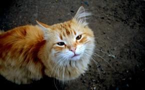 Picture cat, red, dark