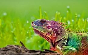 Wallpaper lizard, Rainbow, iguana