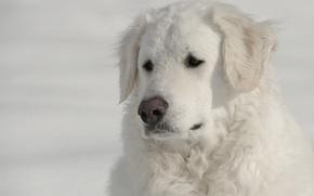 Picture face, dog, The kuvasz, Hungarian Kuvasz