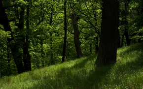 Picture greens, forest, trees, nature