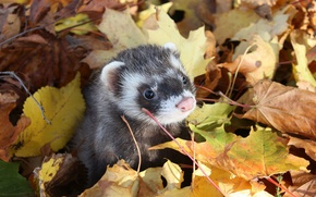 Picture autumn, leaves, muzzle, Freda, Ferret