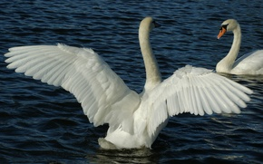 Picture water, birds, pond, wings, feathers, pair, white, swans, tail