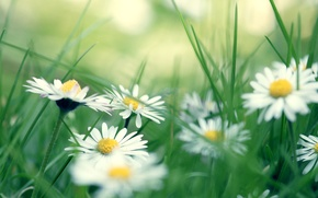 Picture chamomile, grass, daisies
