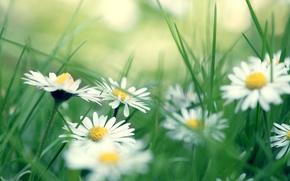 Wallpaper grass, chamomile, daisies