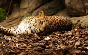 Picture look, leaves, stones, leopard, lies