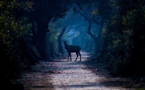 Picture forest, trees, fog, the way, deer, wildlife