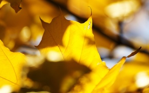 Picture autumn, leaves, the sun, light, yellow, veins, maple