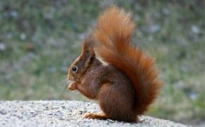 Picture macro, blur, Protein, sitting, squirrel