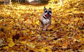 Picture happy, dog, fall, running