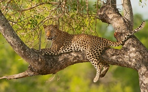 Picture branches, tree, stay, leopard, wild cat, on the tree
