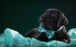 Picture butterfly, black, puppy, fabric, cane Corso