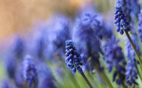 Picture macro, flowers, nature, blue, Muscari