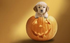 Wallpaper dog, pumpkin, Halloween, holiday, background