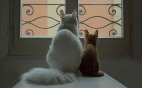 Picture white, cat, window, red, kitty, a couple