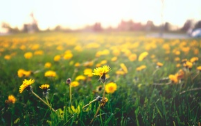 Picture grass, flowers, yellow, petals, dandelions. mother and stepmother