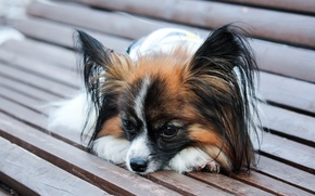 Picture dog, dog, adorable, Papillon