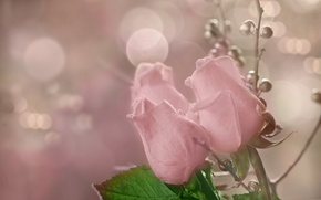 Picture flowers, background, roses
