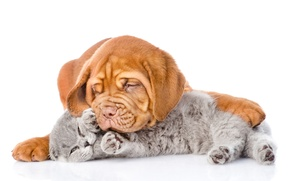 Picture cat, dog, Dog, Cat, Dogue de Bordeaux, Kittens